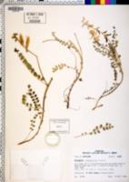 Astragalus soxmaniorum image