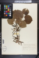 Cercis chinensis image