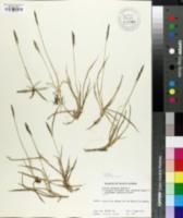 Zoysia japonica image