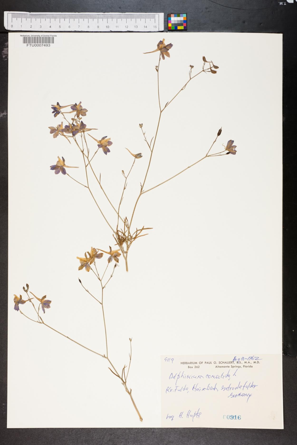 Delphinium consolida image