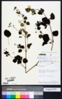 Image of Colignonia parviflora