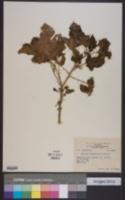 Solanum virginianum image