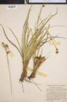 Image of Rhynchospora dodecandra