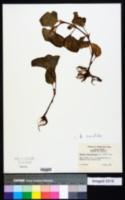 Begonia cucullata image