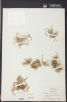Axonopus fissifolius image