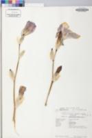 Iris pallida image