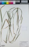 Bromus maritimus image