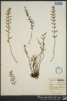 Cheilanthes pyramidalis image
