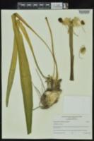 Hymenocallis occidentalis var. occidentalis image