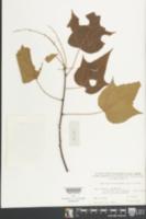 Image of Mallotus microcarpus