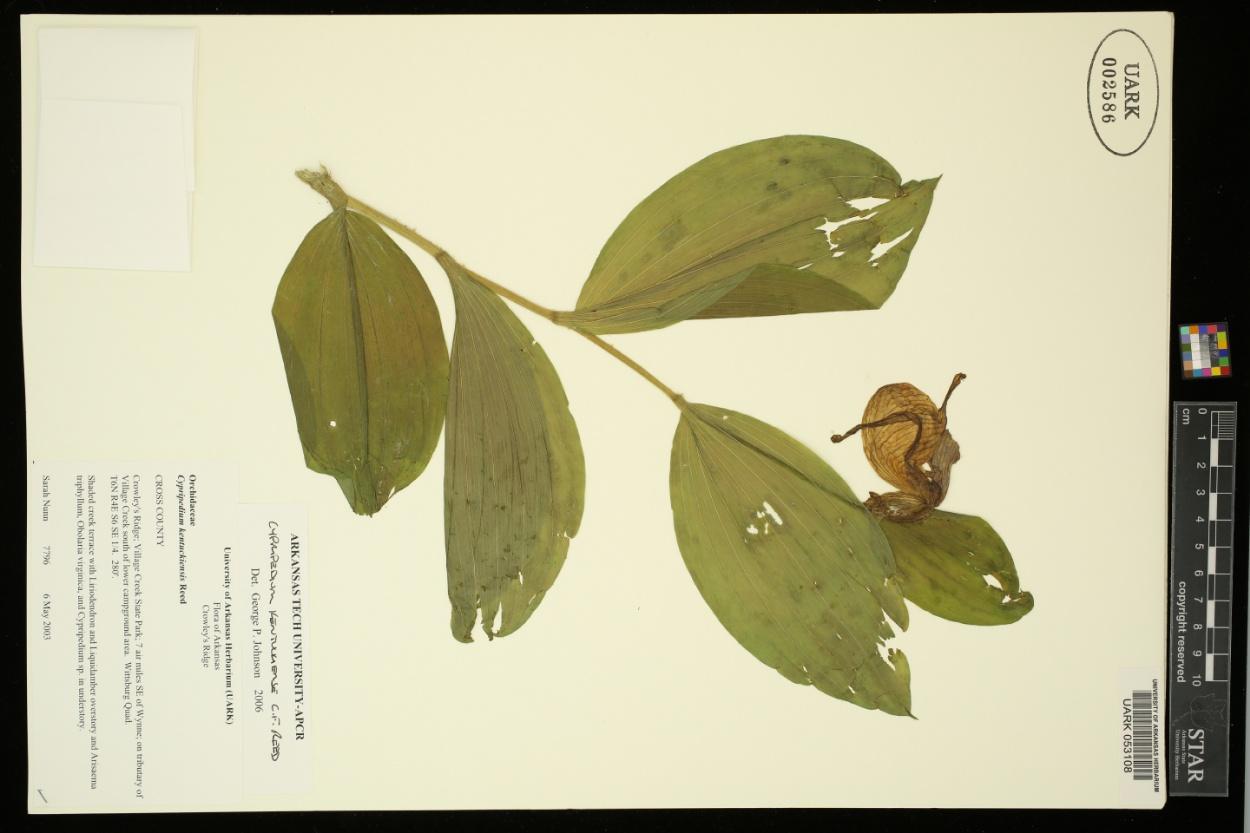 Cypripedium kentuckiense image