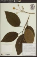 Image of Camptotheca acuminata