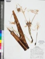Image of Hymenocallis caroliniana