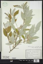 Elaeagnus umbellata image