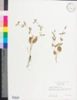 Image of Eryngium prostratum