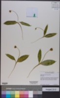 Erythronium americanum subsp. harperi image