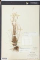 Image of Schizachyrium gracile