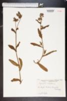 Image of Lycopsis arvensis