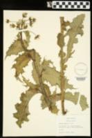 Sonchus asper image
