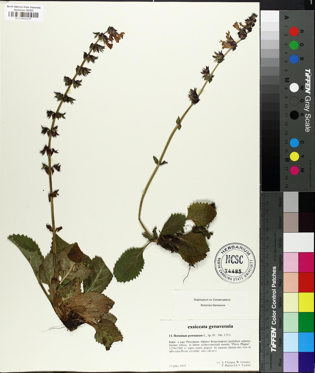 Horminum pyrenaicum image