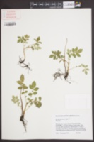 Image of Agrimonia incisa