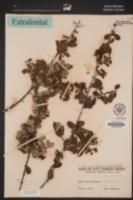 Ceanothus cuneatus var. cuneatus image
