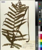 Image of Dryopteris parasitica