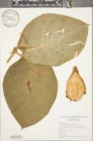 Image of Matelea hirsuta