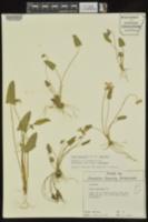 Viola sagittata image