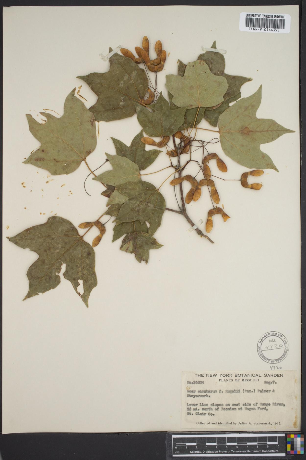 Acer saccharum var. rugelii image