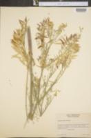 Image of Astragalus ripleyi