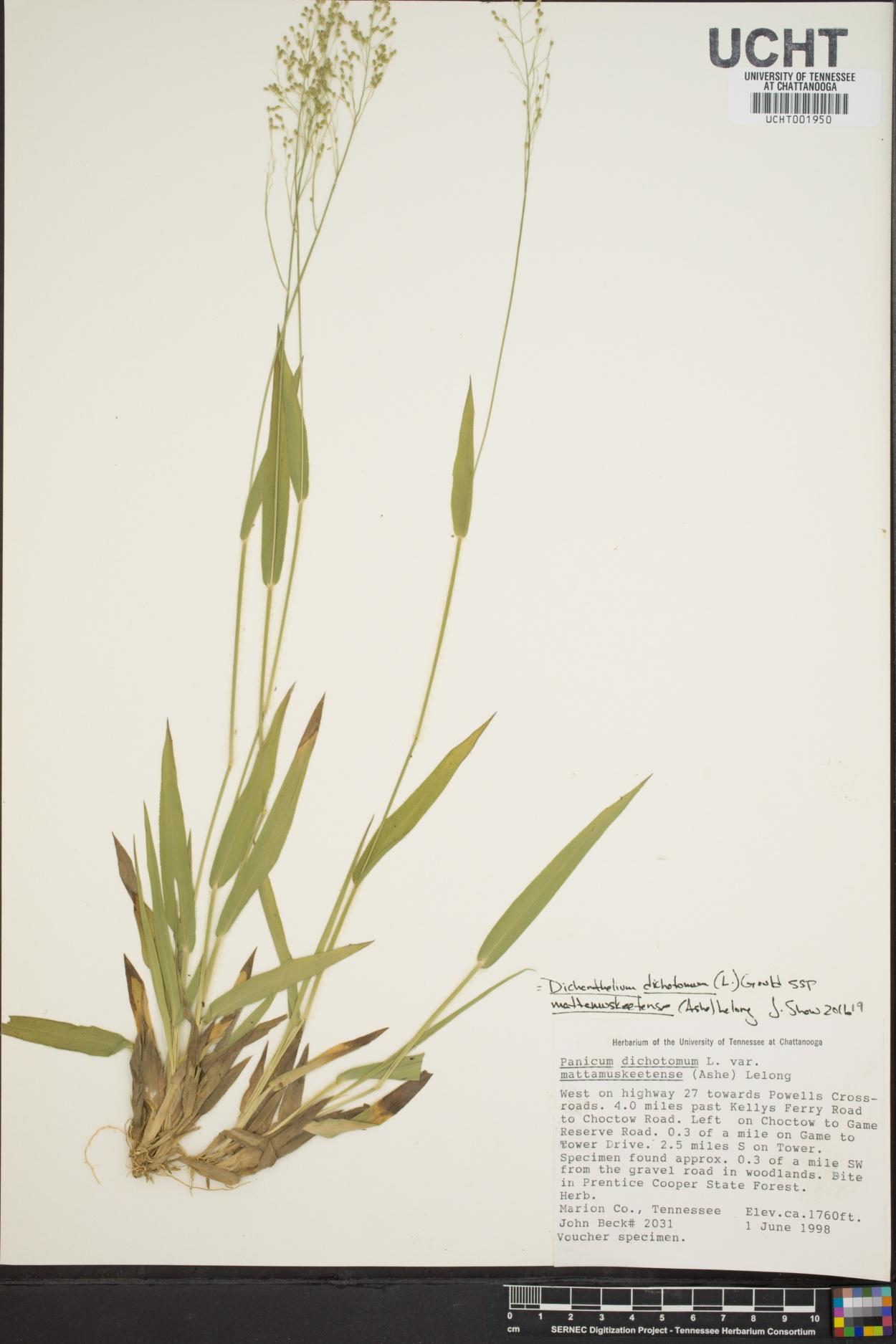 Panicum dichotomum var. mattamuskeetense image