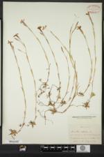Dianthus deltoides image