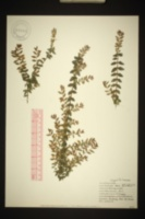 Image of Lonicera nitida