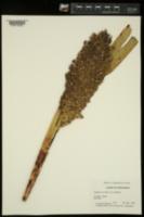 Sorghum bicolor image