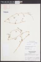 Paronychia americana subsp. americana image