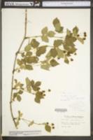 Rubus fecundus image