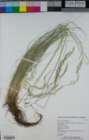 Festuca occidentalis image
