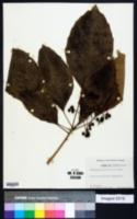 Dendropanax arboreus image