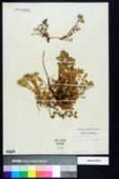 Astragalus villosus image