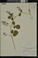 Rhynchosia latifolia image
