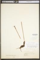 Isotria verticillata image
