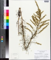 Eupatorium leptophyllum image