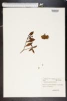 Image of Rothmannia globosa