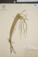 Image of Cyperus lecontei