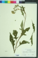 Verbesina virginica image