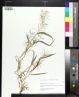 Image of Paspalum fluitans