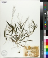 Cyrtococcum patens image