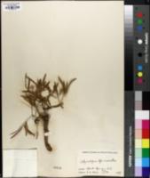 Image of Tithymalopsis ipecacuanhae