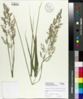 Calamagrostis x acutiflora image